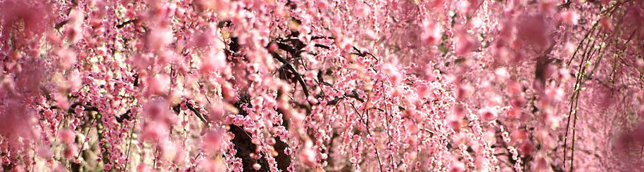 cropped-2014-japanese-cherry-blossom-blooming-sakura-52.jpg